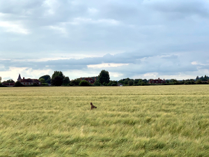 Deer in West Sussex field photo by A Howse