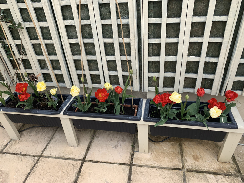 Garden planters with tulips