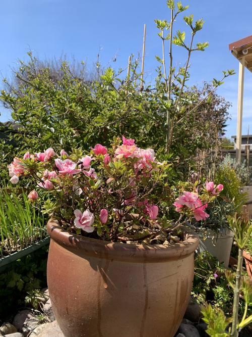 Pink roses in terracotta pot